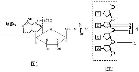 已知图1为腺嘌呤核糖核苷酸分子结构式.请回答下列问题