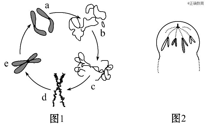 如图1表示植物细胞分裂过程中染色体(质)出现的凝缩