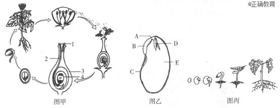 该食物链可表示为:丙→丁→甲→乙 被子植物的一生,要经历生长,发育