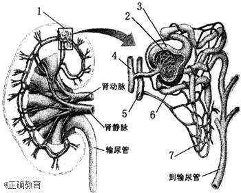 如图为肾脏宏观结构及其微观结构示意图,请据图回答